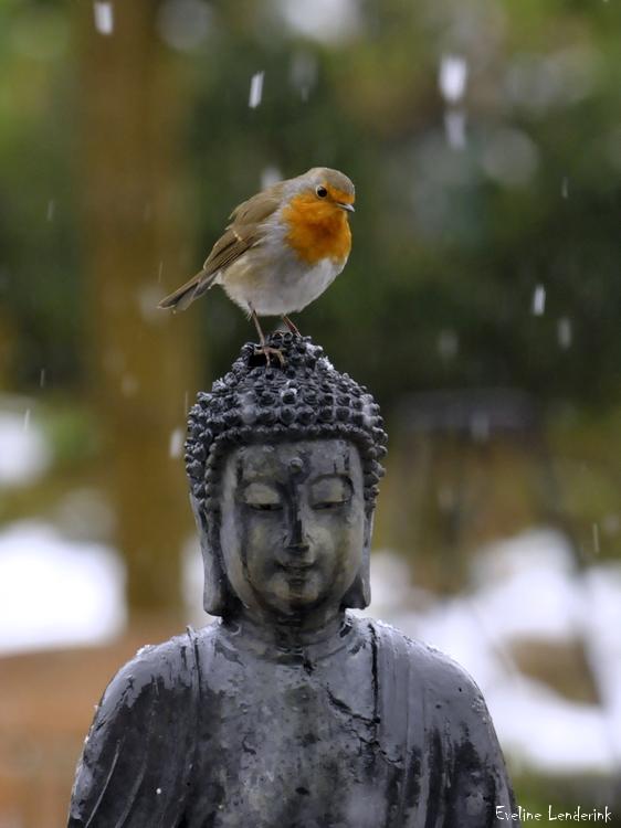 roodborst buddha2