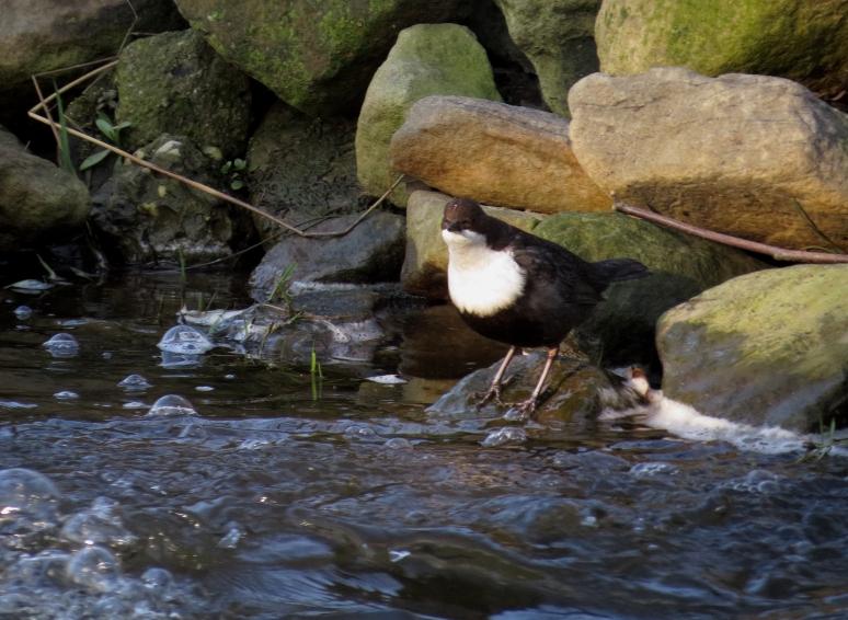 waterspreeuwIMG_4883
