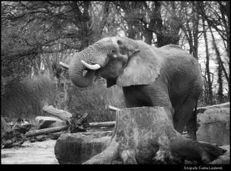 Drinkende olifant