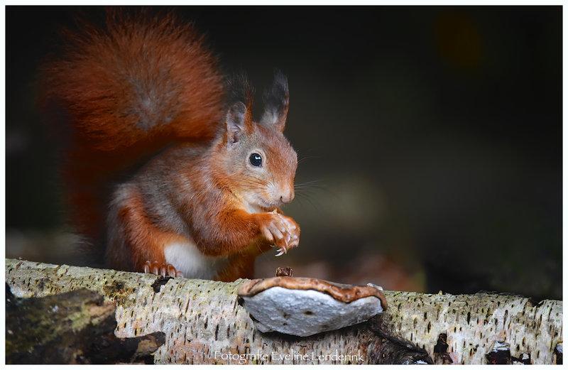 eekhoorn gevouwen handjes