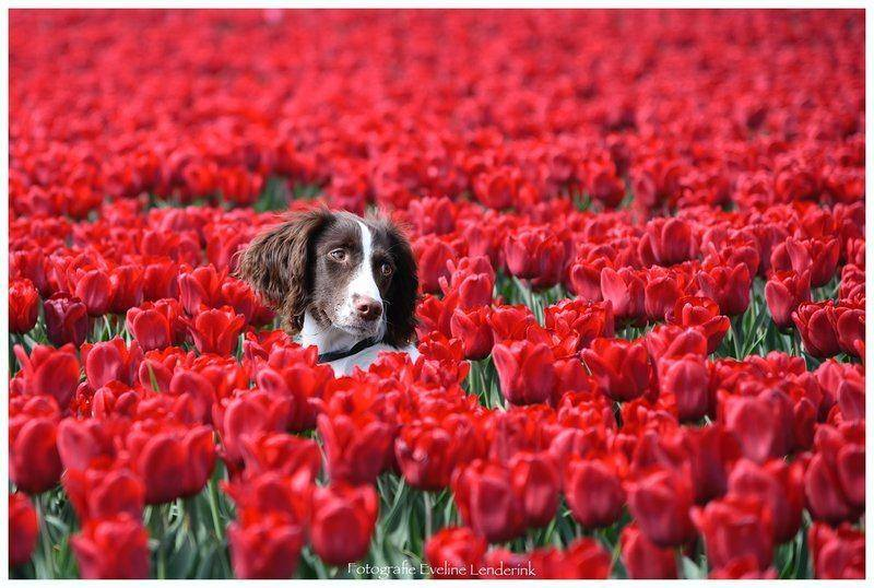 lola tussen de tulpen.